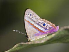 https://flic.kr/p/BfDw95 | Euselasia euodias, Rainbow Sombermark, 2015 Oct 28, Apuya, Napo, Ecuador, JGlassberg - 4410 | Rainbow Sombermark, Euselasia euodias, Ecuador butterflies, Sunstreak Tours, Glassberg