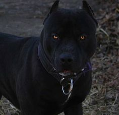 Uplifting So You Want A American Pit Bull Terrier Ideas. Fabulous So You Want A American Pit Bull Terrier Ideas. Pitbull Noir, Black Pitbull, Dogs Pitbull, Amstaff Terrier, Bull Terrier Dog, Cute Puppies, Cute Dogs, Dogs And Puppies, Doggies
