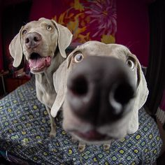Only a Weimaraner owner will understand this photo LOL
