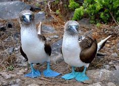 Mavi Ayakli Sumsuk Kuşu http://dusuneninsanlaricin.com/gorunce-sizi-hayrete-dusurecek-en-suslu-en-ilginc-52-canli/