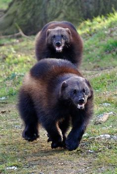 WOLVERINES - Uh, these guys look p'od..