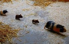 Guinea piglets!!