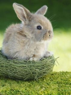 Cutest little baby bunny in a nest!