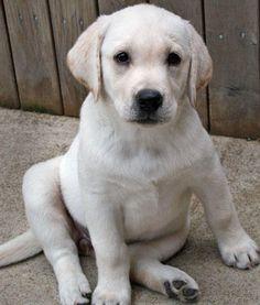 Fenway the Labrador Retriever