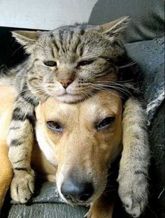 Funny animal pictures with an assortment of animals. Funny animal pictures with captions. Funny Cats And Dogs, Cats And Kittens, Weird Dogs, Cute Baby Animals, Funny Animals, Animals Images, Golden Retriever, Tier Fotos, Cat Sleeping