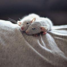 sleepy baby rats