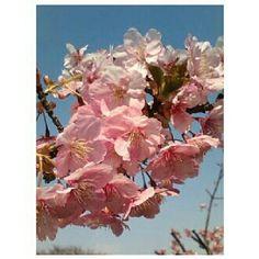 母親が送ってきた日本の実家の近くの#桜 その3 mom sent me a #picture of #sakura near my house in #japan #cherryblossom#season