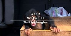 Download link:  megafilesfactory.com/444162c048d9368b/BBC Our World (2017) The Chimp Smugglers 720p HDTV x264 AAC - MVGroup