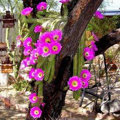 Lady Finger Cactus Seeds (Echinocereus pentalophus) 20+Seeds
