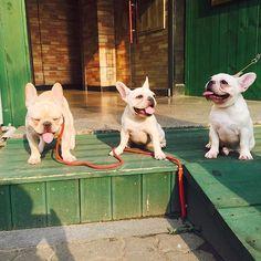 #모모 새끼들 모임😂😂너무너무 다들 잘커줘서 너무너무 행복해요~~~ ㅋㅋㅋㅋㅋㅋㅋ우리#모찌 어머님 최고😍😍😍👍👍👍👍ㅋㅋㅋㅋㅋㅋㅋ #강스타그램 #frenchbulldog #family #bully #bulldog #dog #dogstagram #daily #puppy #pet #프렌치불독 #프랜치불독 #강스타그램 #독스타그램 #강스타그램 #왈스타그램...