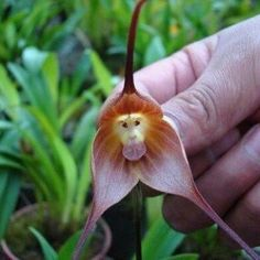Monkey orchid?
