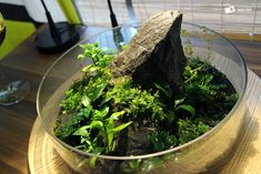 Wabi-kusa, Standzeit 4 Wochen. Ich habe die Folie heute abgenommen und hoffe, dass die Pflanzen das jetzt gut vertragen.
