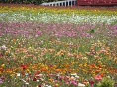 Carlsbad Flower Fields, Carlsbad : consultez 699 avis, articles et 591 photos de Carlsbad Flower Fields, classée n°4 sur 63 activités à Carlsbad sur TripAdvisor.