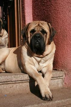 "The breed is commonly referred to as the ""Mastiff"". Also known as the English Mastiff this giant dog breed gets known for its splendid, good natu Bull Mastiff Dogs, Mastiff Puppies For Sale, Mastiff Breeds, Dogs And Puppies, Doggies, Old English Mastiffs, English Mastiff Puppies, Giant Dog Breeds, Giant Dogs"