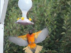 Baltimore Oriole, Aug 28, 2014, Montmartre, SK. Photographed by Anita Draper.