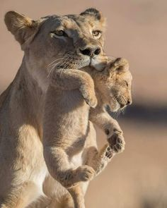 Lioness carrying her little cub by the scruff of the neck.