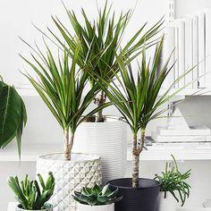 Continuamos revisando las plantas de interiores más populares en decoración y como cuidarlas. Hoy es el turno de la dracena, una de las 'súper plantas' que es capaz de purificar el aire de gases tóxicos para los seres vivos. Encuentra todos los tips en el blog.
