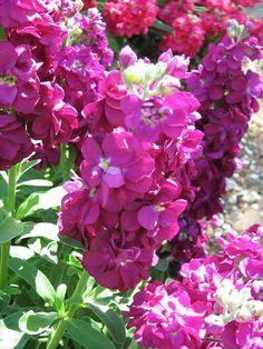 stocks flowers - Magenta