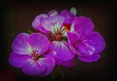 Title  Geranium Blossom  Artist  Hanny Heim  Medium  Photograph - Art Photography