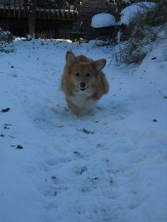 My happy corgi, Pippin, running in the snow.