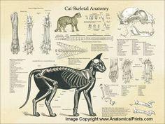скелет персидской кошки с мышцами: 10 тыс изображений найдено в Яндекс.Картинках