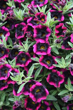 Annuals for (Million Bells) Superbells® Blackberry Punch Calibrachoa is a great new shade of Million Bells. The deep purple center that fades out to a magenta color is very striking in combo planters or planted by itself. Superbells® Blackberry P Flower Beds, My Flower, Flower Power, Belle Plante, Low Maintenance Plants, Dream Garden, Garden Inspiration, Container Gardening, Container Plants