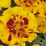 Tagetes patula 'Bolero' (French marigold 'Bolero') Click image to learn more, add to your lists and get care advice reminders  each month.
