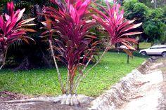 Iguana, Punta Leona, Costa Rica 2005