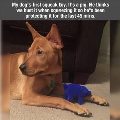This is literally my dog when we gave him his frist squeaky toy.!