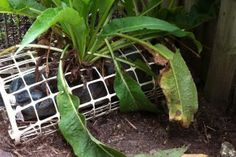 Comfrey collects nutrients from chookpoo and potplant overflows