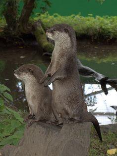 Otters by adammlewis, via Flickr