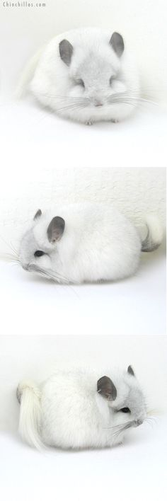 Exceptional Tumblr Cute Girl Bedroom Cozy Teenage Ideas: Chinchilla! This Is The Freakin Most Adorable Picture Of A