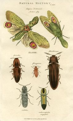Insects - Lantern Fly & Click Beetle, 1819