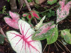 Colius plants