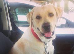 Roc Monfort viajando, tendra todos los puntos del carné?? :-o  #LabradorRetriever #veterinario www.veterinario.es