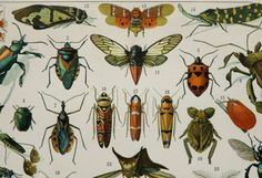 DESCRIPTION: This original antique color lithograph comes from Claude Augé´s Nouveau Larousse Illustré enclicopaedia, and it was printed in Paris (France) c. 1900.  SUBJECT: Different species of INSECTS MEDIUM: Color Lithograph print. It has text on reverse. SIZE (in inch): 12.1 x 9 or 31 x 23 cm. AGE: 116 years. CONDITION: Very good conditon For more antique insects prints, please click on: http://www.etsy.com/shop/AntiquePrintsOnly?section_id=11486004   This is an original antique print…