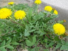 Many people believe that the yellow and green plant that grows wild in the lawn during the spring season is nothing but an annoying weed. Those are actually dandelions, one of the most highly respected medicinal herbs in the world, with a wide range of uses for the body. If a person is suffering from …