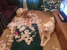 Oh what a familiar Siberian Husky sight!!  One of my Husky beds looked like this last night too when I got home!!!