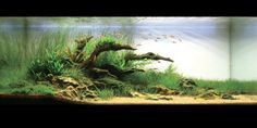 Amano aquascape