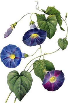 Find images and videos on We Heart It - the app to get lost in what you love. Flora Flowers, Botanical Flowers, Botanical Prints, Victorian Flowers, Vintage Flowers, Botanical Drawings, Botanical Illustration, Watercolor Flowers, Watercolor Paintings