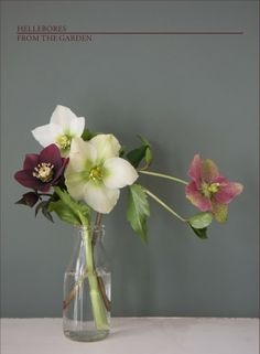 hellebores from the garden by Alexis www.somethingimade.co.uk