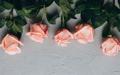 Télécharger fonds d'écran pourpre des roses, fond gris, floral de milieux, des roses, des boutons de fleurs