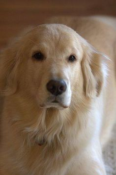 "Find out more information on ""golden retriever pups"". Take a look at our web site. Retriever Puppy, Dogs Golden Retriever, Golden Retrievers, Cute Puppies, Cute Dogs, Dogs And Puppies, Doggies, Beautiful Dogs, Animals Beautiful"