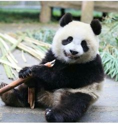 I love panda bears