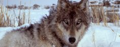 The wolf is the largest member of the Canidae family. The coyote evolved from the wolf over 500,000 years ago. The Gray Wolf and the...