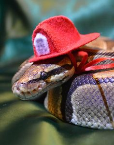 Best images, photos and pictures gallery about snakes with hats  #snake #babysnake #snakeswithhats #cutesnake #bestpetsnake