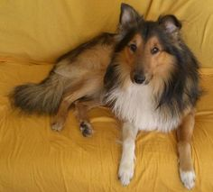 Animal Mammal Dog Shetland Sheepdog Information, Facts, Pictures and Puzzles (Image Info - Photo Welsh Sheepdog, Shetland Sheepdog, The Shepherd, Sheltie, Beautiful Creatures, Mammals, Dog Breeds, Corgi, Dogs