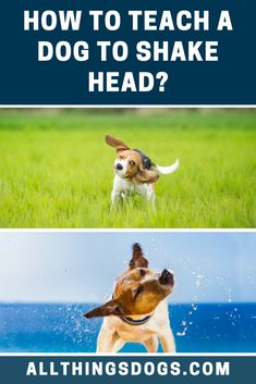 With the Shake Head dog trick, you can teach this trick so your dog will nod or shake their head. Read our simple step-by-step instructions on how to teach a dog to shake head. Terrier Breeds, Dog Breeds, Beagle Dog Breed, Dog Trick, Dog Hacks, New Tricks, Dog Stuff, Shake, Your Dog
