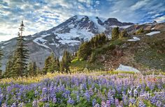 Mount Rainier and Paradise Lupine. This paradise on earth never gets boring. Hike it in different seasons of the year or even during the night. No photoshop needed, it's pure beauty and action. Alpine Meadow, Rainy Wedding, Mount Rainier National Park, Different Seasons, Paradise On Earth, Wedding Advice, Landscape Photographers, Terra, Wedding Pictures