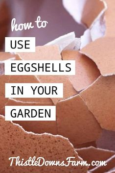 Eggshells are a valuable source of nutrients that can do wonders for your garden vegetables. Instead of throwing them out, learn how to turn them into a natural fertilizer quickly and easily with these simple step-by-step instructions. To learn more about organic gardening and composting ideas, visit ThistleDownsFarm.com | #eggshells #organicgarden #gardeninghacks #gardeningdiy #raisedbedgardening